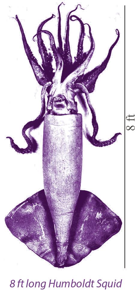 01-Humbolt Squid-caption